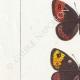 DETTAGLI 02 | Farfalle dall'Europa - Satyre Arachne