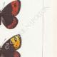 DETTAGLI 05 | Farfalle dall'Europa - Satyre Arachne