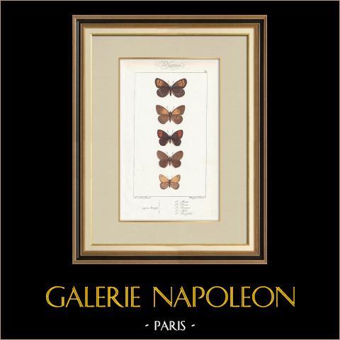 Papillons d'Europe - Satyre Manto | Gravure originale en taille-douce sur acier d'après A. Noël. Pauquet direxit. Aquarellée à la main. 1834
