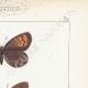 DÉTAILS 04 | Papillons d'Europe - Satyre Manto