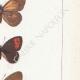 DÉTAILS 05 | Papillons d'Europe - Satyre Manto