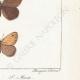 DÉTAILS 06 | Papillons d'Europe - Satyre Manto