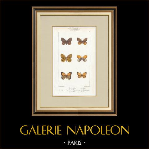 Papillons d'Europe - Satyre Oedippus | Gravure originale en taille-douce sur acier d'après A. Noël. Pauquet direxit. Aquarellée à la main. 1834