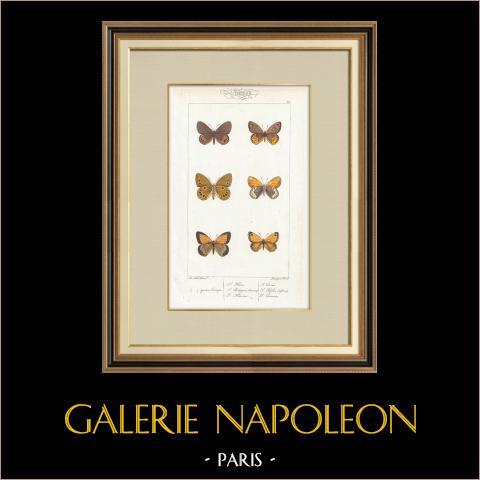 Butterflies of Europe - Satyre Oedippus | Original steel engraving after A. Noël. Pauquet direxit. Hand watercolored. 1834
