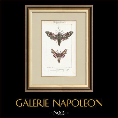 Papillons d'Europe - Sphinx | Gravure originale en taille-douce sur acier d'après A. Noël. Pauquet direxit. Aquarellée à la main. 1834