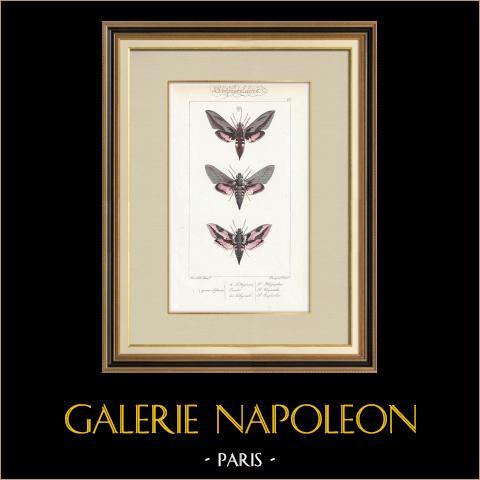 Papillons d'Europe - Sphinx de l'Argousier | Gravure originale en taille-douce sur acier d'après A. Noël. Pauquet direxit. Aquarellée à la main. 1834
