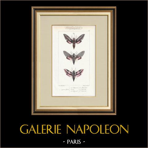 Butterflies of Europe - Sphinx de l'Argousier | Original steel engraving after A. Noël. Pauquet direxit. Hand watercolored. 1834