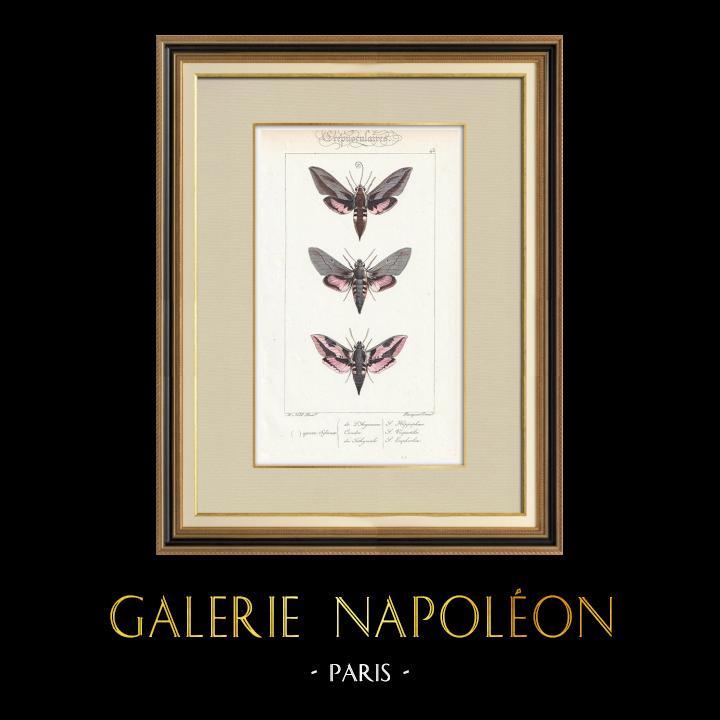 Stampe Antiche & Disegni | Farfalle dall'Europa - Sphinx de l'Argousier | Stampa calcografica | 1834