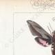 DETTAGLI 01 | Farfalle dall'Europa - Sphinx de l'Argousier