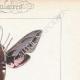 DETTAGLI 04 | Farfalle dall'Europa - Sphinx de l'Argousier