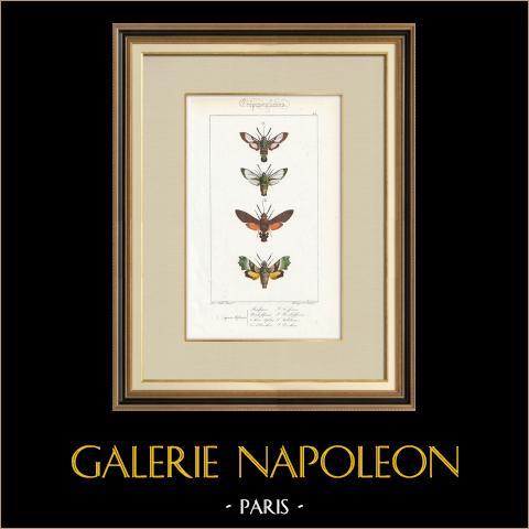 Papillons d'Europe - Sphinx Fuciforme | Gravure originale en taille-douce sur acier d'après A. Noël. Pauquet direxit. Aquarellée à la main. 1834