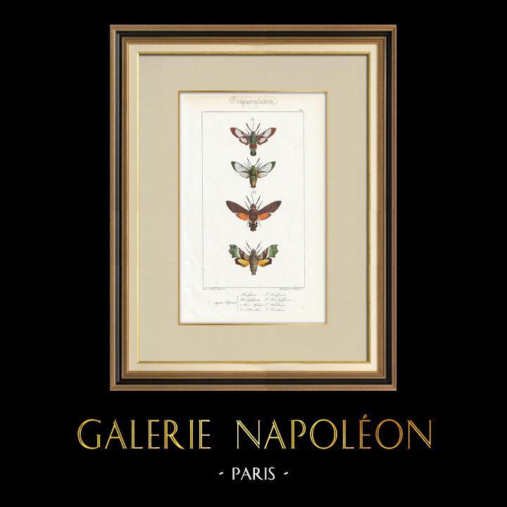 Gravures Anciennes & Dessins | Papillons d'Europe - Sphinx Fuciforme | Taille-douce | 1834