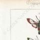 DÉTAILS 01 | Papillons d'Europe - Sphinx Fuciforme