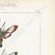 DÉTAILS 04 | Papillons d'Europe - Sphinx Fuciforme
