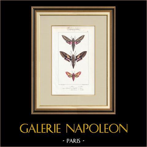 Papillons d'Europe - Sphinx Phenix | Gravure originale en taille-douce sur acier d'après A. Noël. Pauquet direxit. Aquarellée à la main. 1834