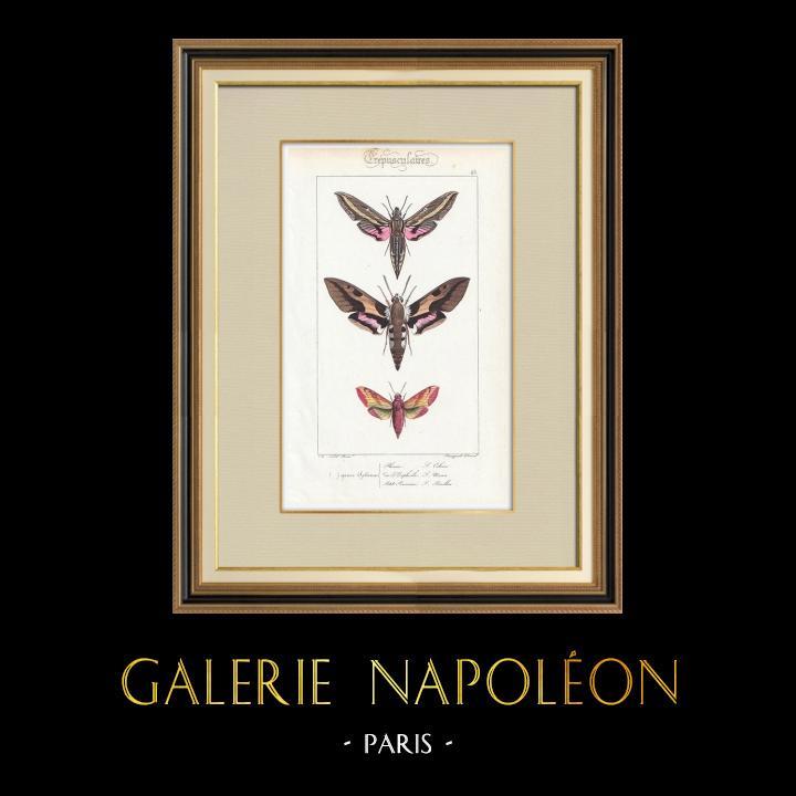 Grabados & Dibujos Antiguos   Mariposas Europeas - Sphinx Phenix   Grabado en talla dulce   1834