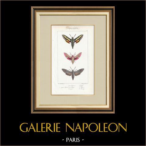 Papillons d'Europe - Sphinx de la Garance | Gravure originale en taille-douce sur acier d'après A. Noël. Pauquet direxit. Aquarellée à la main. 1834