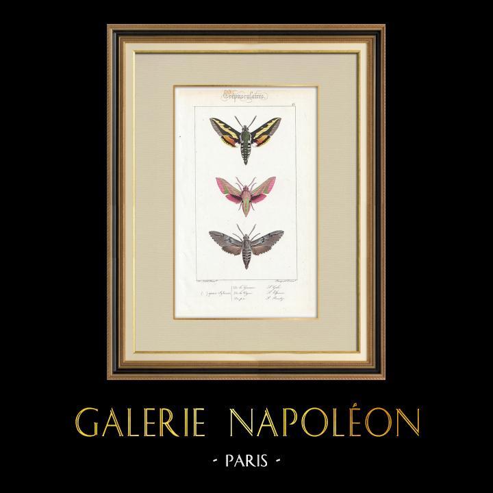 Antique Prints & Drawings | Butterflies of Europe - Sphinx de la Garance | Intaglio print | 1834