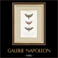 Mariposas Europeas - Sphinx de la Garance