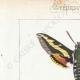 DETAILS 01 | Butterflies of Europe - Sphinx de la Garance