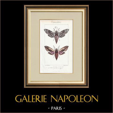 Papillons d'Europe - Sphinx du Liseron | Gravure originale en taille-douce sur acier d'après A. Noël. Pauquet direxit. Aquarellée à la main. 1834