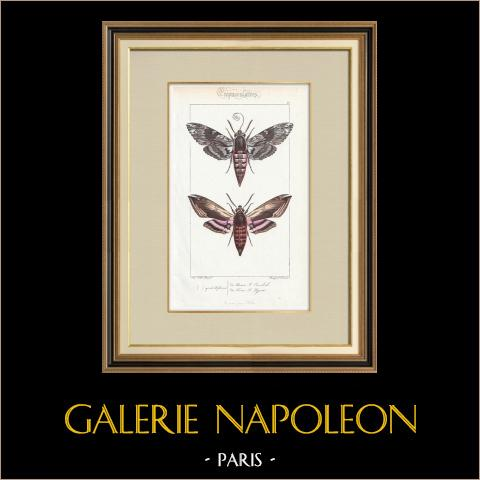 Butterflies of Europe - Sphinx du Liseron | Original steel engraving after A. Noël. Pauquet direxit. Hand watercolored. 1834