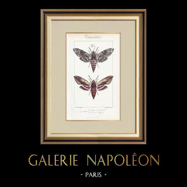Stampe Antiche & Disegni | Farfalle dall'Europa - Sphinx du Liseron | Stampa calcografica | 1834