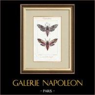Mariposas Europeas - Sphinx du Liseron