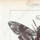 DETTAGLI 01 | Farfalle dall'Europa - Sphinx du Liseron