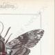 DETTAGLI 04 | Farfalle dall'Europa - Sphinx du Liseron