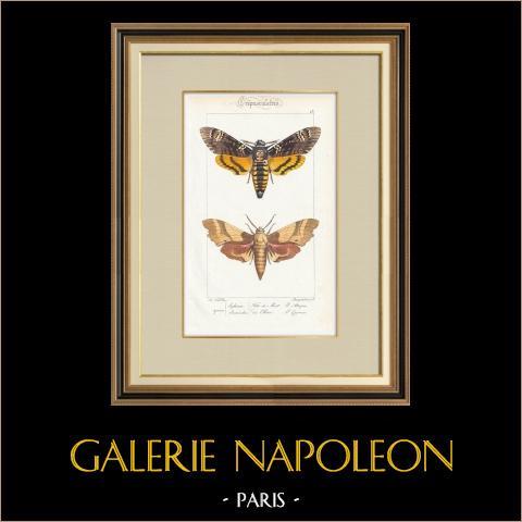 Papillons d'Europe - Sphinx Tête de Mort - Sinerinthe du Chêne | Gravure originale en taille-douce sur acier d'après A. Noël. Pauquet direxit. Aquarellée à la main. 1834