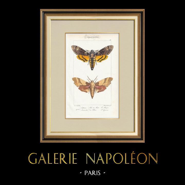 Antique Prints & Drawings | Butterflies of Europe - Sphinx Tête de Mort - Sinerinthe du Chêne | Intaglio print | 1834