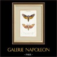 Papillons d'Europe - Sphinx Tête de Mort - Sinerinthe du Chêne
