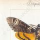 DETAILS 01 | Butterflies of Europe - Sphinx Tête de Mort - Sinerinthe du Chêne