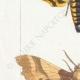 DETALLES 02 | Mariposas Europeas - Sphinx Tête de Mort - Sinerinthe du Chêne