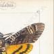 DETAILS 04 | Butterflies of Europe - Sphinx Tête de Mort - Sinerinthe du Chêne