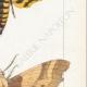 DETALLES 05 | Mariposas Europeas - Sphinx Tête de Mort - Sinerinthe du Chêne