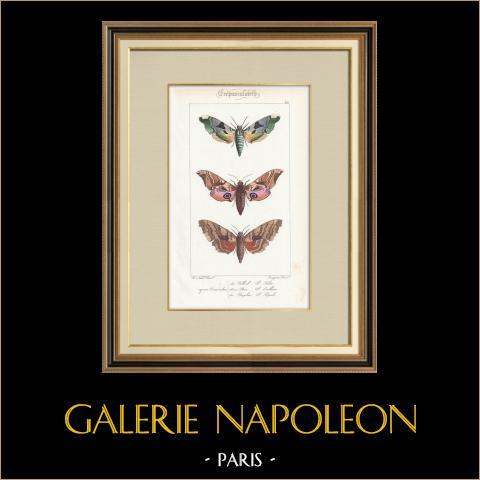 Papillons d'Europe - Sinerinthe du Tilleul | Gravure originale en taille-douce sur acier d'après A. Noël. Pauquet direxit. Aquarellée à la main. 1834