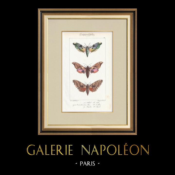 Stampe Antiche & Disegni | Farfalle dall'Europa - Sinerinthe du Tilleul | Stampa calcografica | 1834
