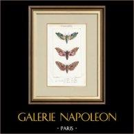 Mariposas Europeas - Sinerinthe du Tilleul