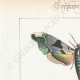 DETTAGLI 01 | Farfalle dall'Europa - Sinerinthe du Tilleul