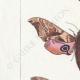 DETTAGLI 02 | Farfalle dall'Europa - Sinerinthe du Tilleul