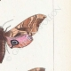 DETTAGLI 05 | Farfalle dall'Europa - Sinerinthe du Tilleul