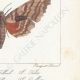 DETTAGLI 06 | Farfalle dall'Europa - Sinerinthe du Tilleul