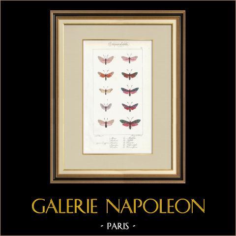 Papillons d'Europe - Zygène | Gravure originale en taille-douce sur acier d'après A. Noël. Pauquet direxit. Aquarellée à la main. 1834