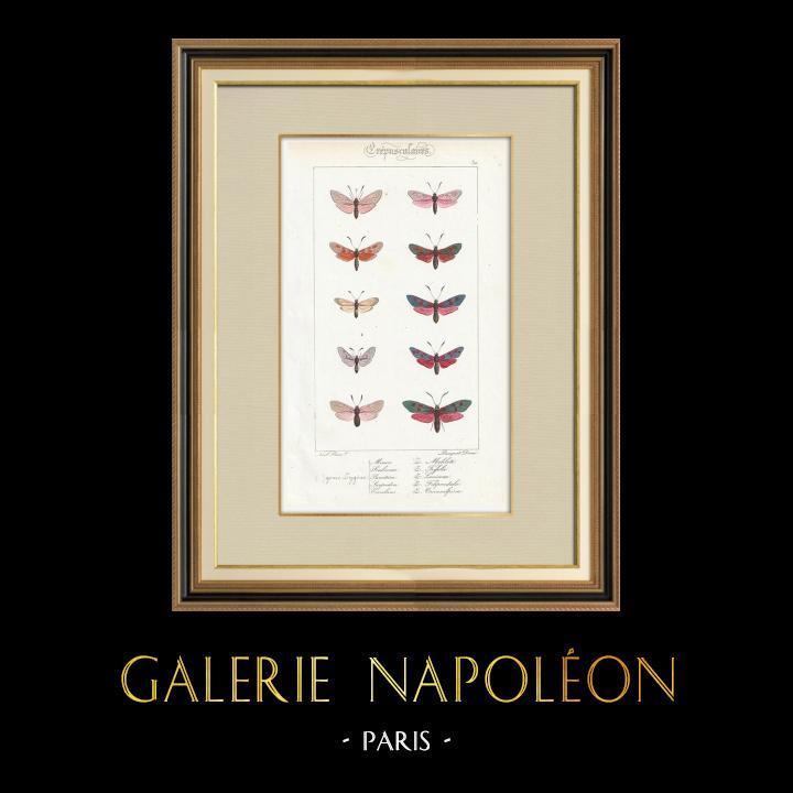 Stampe Antiche & Disegni   Farfalle dall'Europa - Zygène   Stampa calcografica   1834