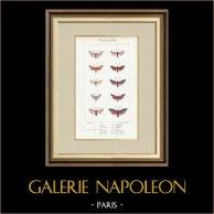 Papillons d'Europe - Zygène