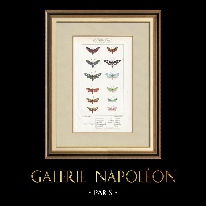 Grabados & Dibujos Antiguos | Mariposas Europeas - Zygène Peucedani | Grabado en talla dulce | 1834