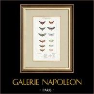 Papillons d'Europe - Zygène Peucedani