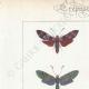 DETALLES 01 | Mariposas Europeas - Zygène Peucedani